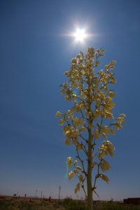 Yucca-WSNM-DesertPlants-6-IMG_1986.CR2