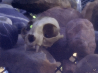 DesertCatSkull